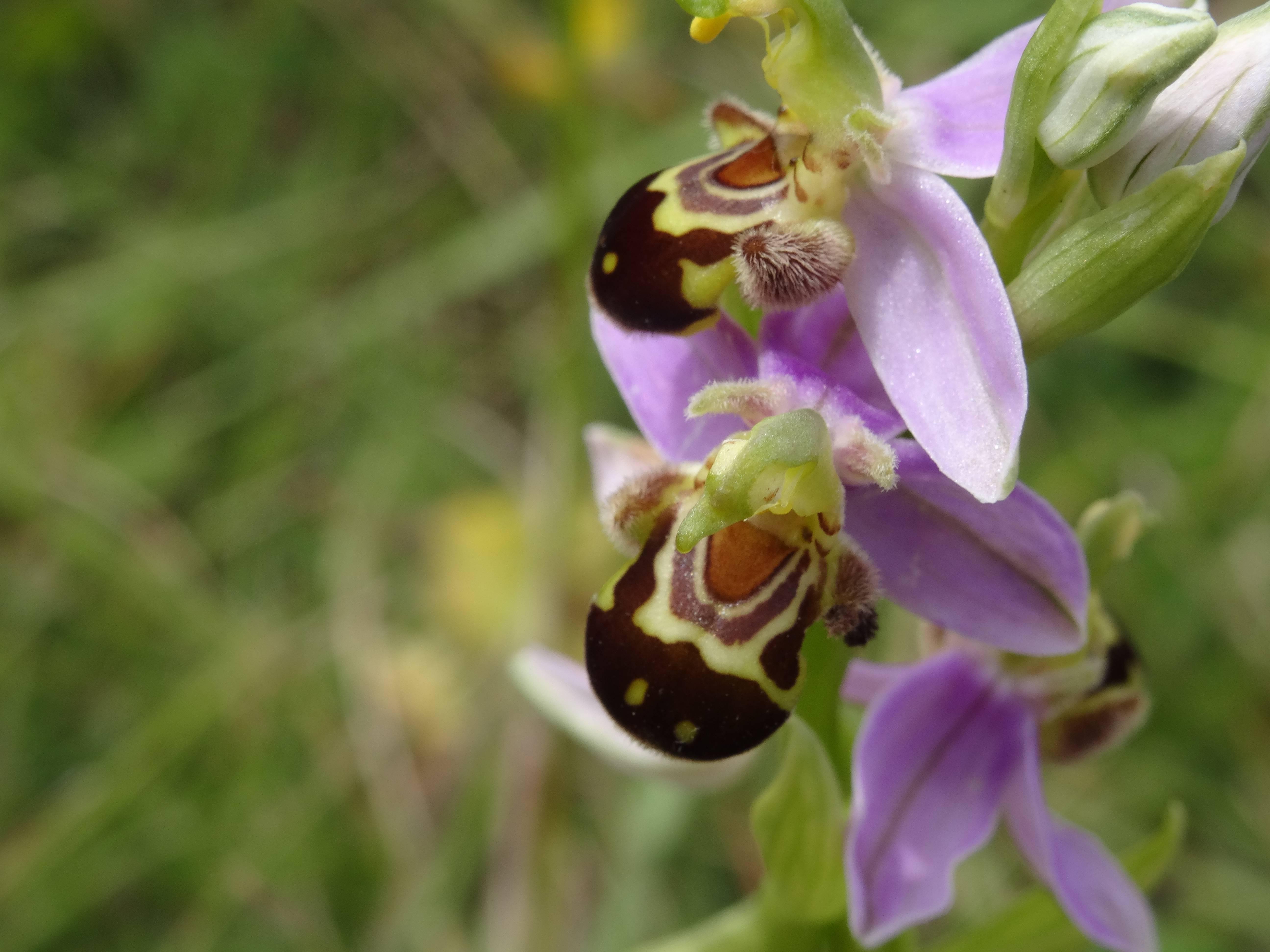 Orchidées sur le massif de Crussol